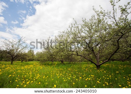 Peaches trees landscape, with yellow dandelions - stock photo