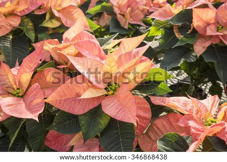 Peachy Colored Christmas Poinsettias in Pots on Display in a Garden Center - stock photo