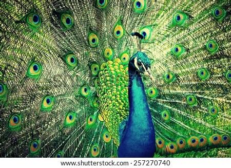 Peacock. - stock photo