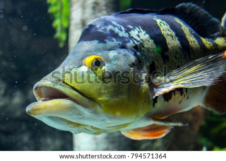 Peacock bass stock images royalty free images vectors for Bass fish tank