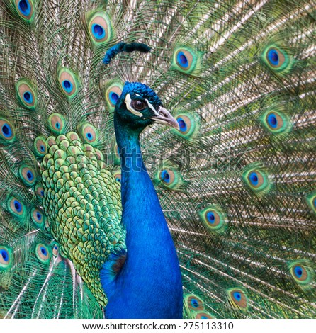 Peacock bragging with his colorful feathers during mating season - stock photo