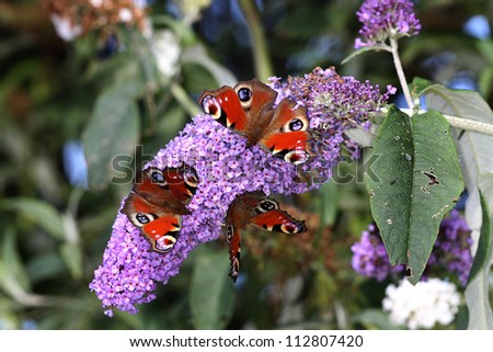 Peacock Butterflies feeding on Buddleia plant flowers.