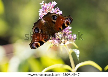 peacock butterfly (aglais io) on butterfly bush (buddeleia)
