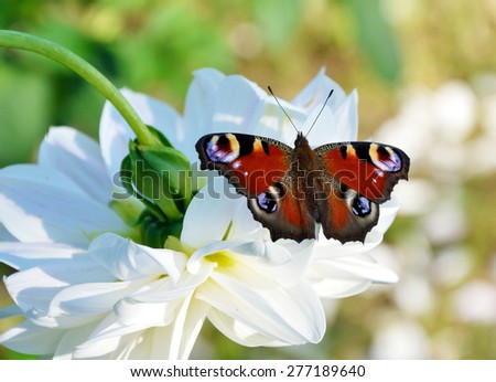 Peacock butterfly on the white flower of dahlia - stock photo