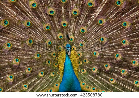 peacock demonstrates an amazing bright tail, tropical background - stock photo