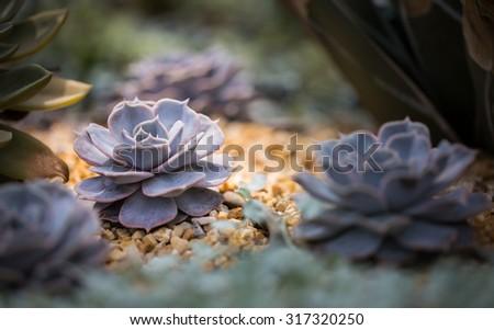 Peacock Echeveria Cactus - stock photo