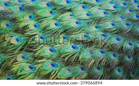 peacock feather as background - stock photo