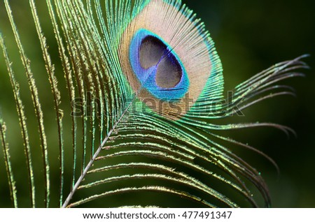 Peacock feather close up. The beautiful and divine bird of India, a wealth symbol