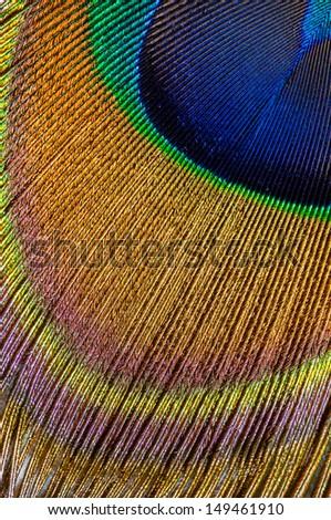 peacock feather closeup - stock photo
