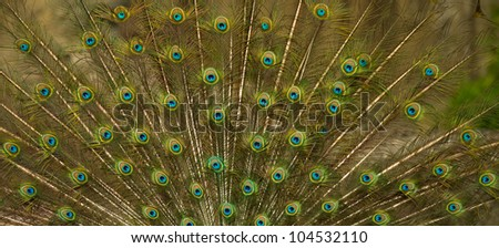 peacock feathers as abstract background - stock photo