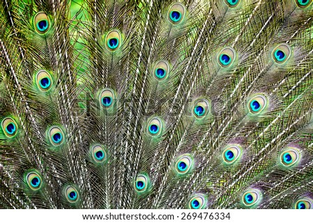 Peacock feathers show - stock photo