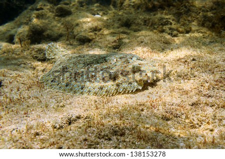 Peacock flounder fish camouflaged on the seabed, Caribbean sea, Mexico - stock photo