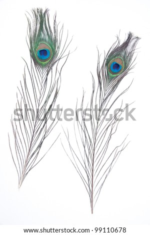 peacock fur isolated on white
