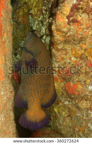 Peacock Grouper fish - stock photo