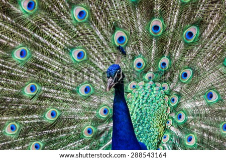 Peacock in a zoo