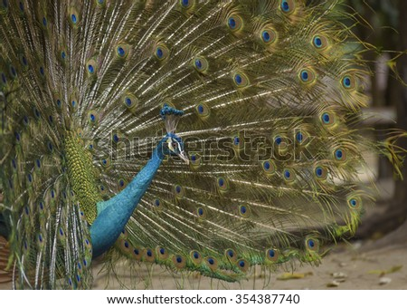 Peacock in forest with beautiful multicolored feathers of green background - stock photo