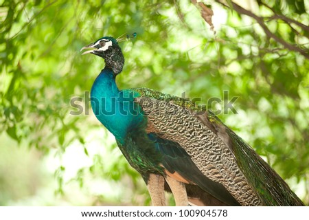 Peacock in nature . - stock photo