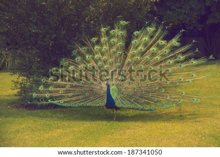 Peacock in the park