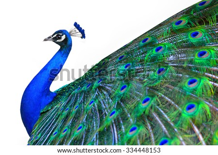 Peacock is isolated on a white background