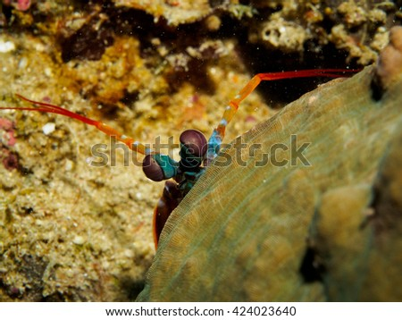 Peacock Mantis shrimp behind rock