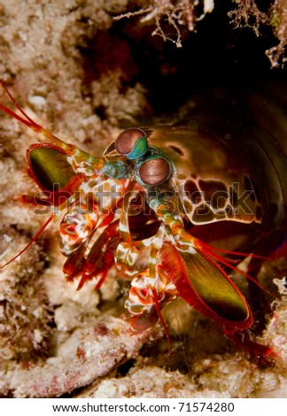 Peacock mantis shrimp (Odontodactylus scyllarus) emerging from its burrow in the sand. Taken on Mabul, Borneo, Malaysia.
