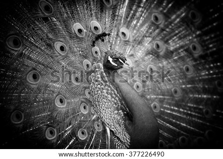 Peacock on dark background. Black and white image - stock photo