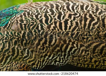 Peacock pattern close-up beautiful - stock photo