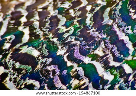 Peacock plumage as a natural background - stock photo