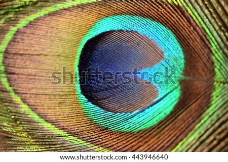 Peacock's tail feather for background - stock photo