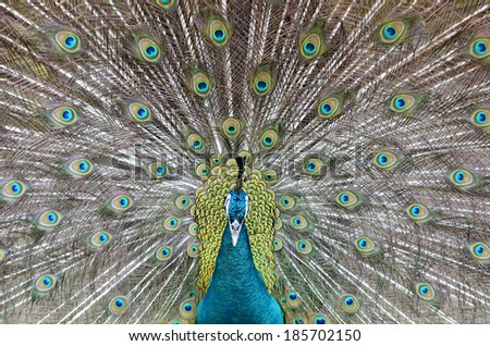 peacock showing beautiful plumage in breading season - stock photo