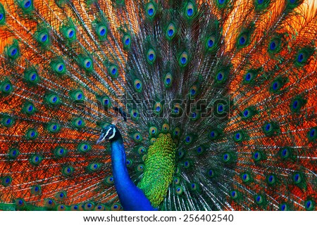 Peacock showing feathers on the bright red background - stock photo