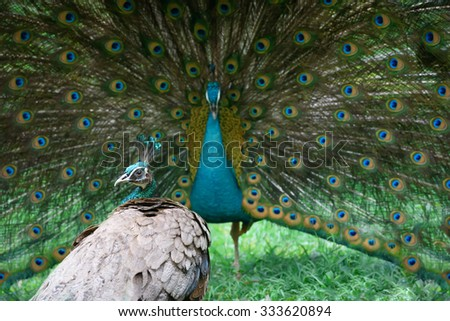 Peacock shows its beautiful tail, but peahen is not impressed - stock photo
