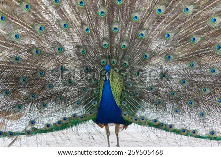 Peacock Spreads Its Tail. - stock photo