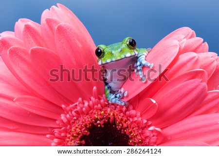 Peacock tree frog on a pink gerbera - stock photo