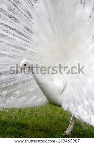 Peacock white with open tail