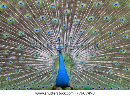 Peacock with beautiful feathers and open plumes. - stock photo
