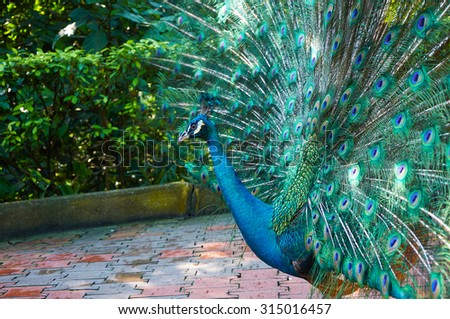 Peacock with big beautiful colorful tail opened