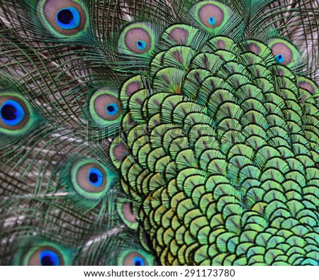 peacock with feathers background texture  - stock photo