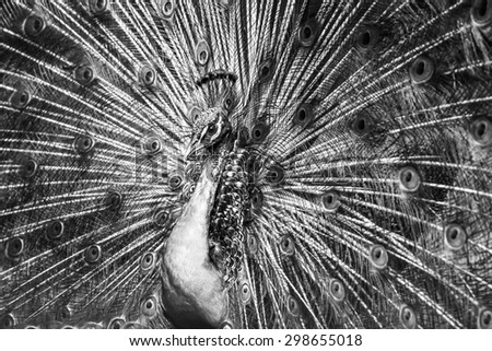 peacock with feathers out closeup in black and white - stock photo