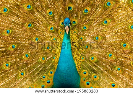 peacock with feathers out  in order to attract a mate - stock photo