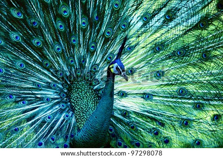 peacock with fully fanned tail - stock photo