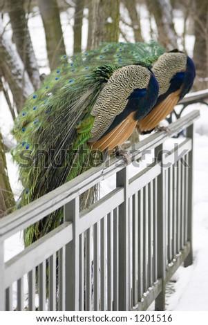 peacocks - stock photo