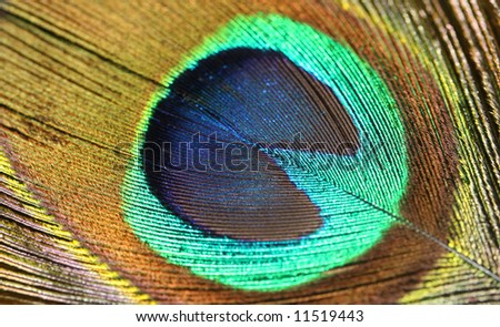 Peafowl Feather