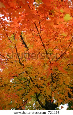Peak Fall Oak Leaves