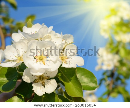 Pear blossom in spring garden in sunlight (backgrounds - concept) - stock photo