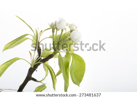 pear blossom isolated white