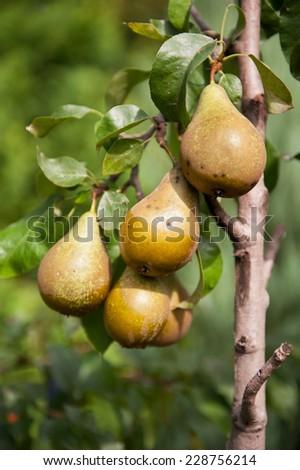 Pear fresh fruits twig, cluster grow on tree, green lush foliage, photo taken in Poland, Europe, vertical orientation, nobody.  - stock photo