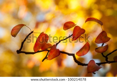 Pear leaves with autumn color - stock photo