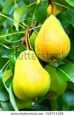 Pear on a branch