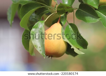 pear on a branch of ripe yellow - stock photo